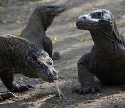 Keen To See A Komodo Dragon? $500 Please: Indonesian Governor To Tourists. – Global Travel Gypsy